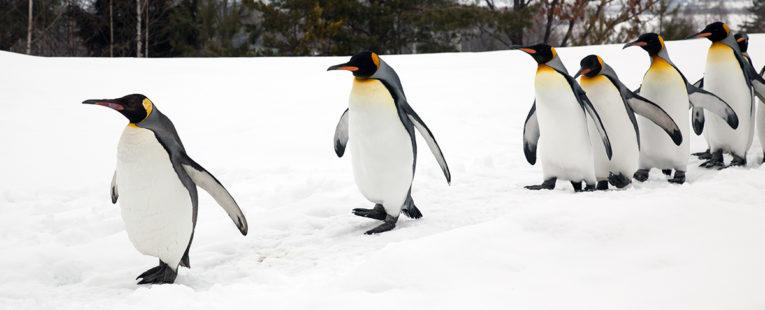 flock of penguins walking along a snowy ridge