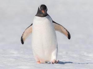 penguin walking on snow