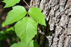 Poison ivy plant on tree.