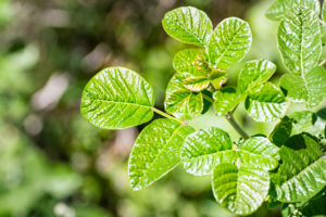 Poison oak plant in forest.
