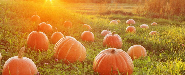 Field of pumpkins in green grass with rays of sunlight from a distant sunrise